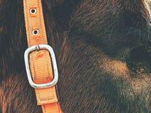 Cavallo con l'occhio perso di cecità di luna immagine stock