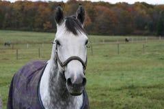 Cavallo con la coperta Fotografia Stock
