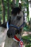 Cavallo con le rosette del ricordo Immagini Stock