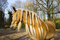 Cavallo con le trecce contro il fondo della molla Fotografie Stock Libere da Diritti
