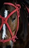 Cavallo con pittura rossa Fotografia Stock