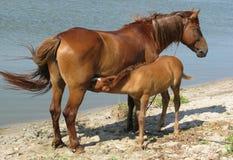 Cavallo con un latte bevente del genitore del foal Immagine Stock Libera da Diritti