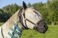 Cavallo con una coperta e una maschera contro le mosche Fotografia Stock Libera da Diritti