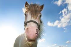Cavallo contro cielo blu Fotografia Stock