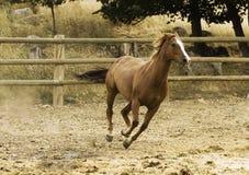 Cavallo corrente Immagini Stock Libere da Diritti