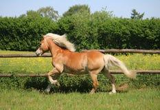 Cavallo corrente del haflinger sul recinto chiuso fotografia stock libera da diritti