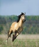 Cavallo corrente libero di lusitano Fotografie Stock Libere da Diritti