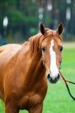Cavallo da corsa Fotografie Stock Libere da Diritti