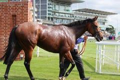 Cavallo da corsa dopo la corsa, corse di York, agosto 2015 Fotografie Stock Libere da Diritti