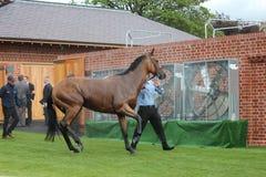 Cavallo da corsa dopo la corsa, corse di York, agosto 2015 Fotografia Stock