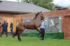 Cavallo da corsa dopo la corsa, corse di York, agosto 2015 Fotografie Stock