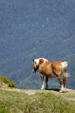 Cavallo da lavoro nelle montagne Immagine Stock