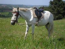 Cavallo da sella bianco Fotografia Stock Libera da Diritti