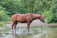 Cavallo da solo in un fiume durante l'estate Fotografia Stock Libera da Diritti