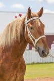 Cavallo da tiro Fotografie Stock Libere da Diritti