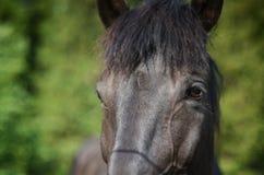 Cavallo da tiro Immagini Stock Libere da Diritti