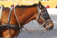 Cavallo da tiro Fotografie Stock