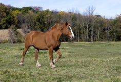 Cavallo da tiro belga Fotografie Stock Libere da Diritti