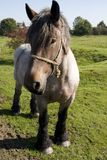 Cavallo da tiro belga Immagine Stock