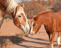 Cavallo da tiro belga con un piccolo cavallino Fotografie Stock