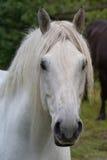 Cavallo da tiro bianco di Percheron Fotografie Stock Libere da Diritti