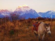 Cavallo davanti alle montagne himalayane ad alba Immagine Stock