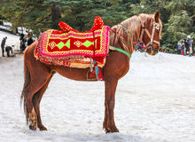 Cavallo dei berberi nella foresta Immagini Stock
