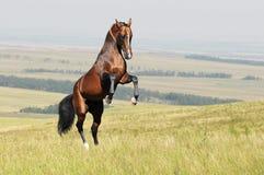 Cavallo del akhal-teke della baia che si eleva in su sul campo Immagini Stock