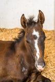 Cavallo del bambino nelle stalle immagini stock