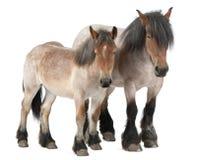 Cavallo del belga del foal e della madre fotografia stock