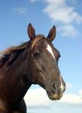 Cavallo del Brown Fotografia Stock