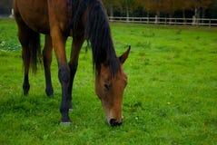 Cavallo del Brown. Immagini Stock Libere da Diritti