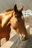Cavallo del Brown Immagini Stock