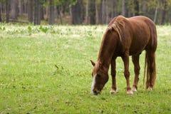 Cavallo del Brown Fotografie Stock Libere da Diritti