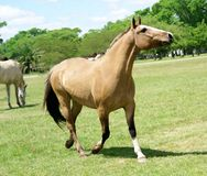 Cavallo del Brown Immagini Stock