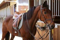 Cavallo del Brown con la sella e le redini Immagini Stock