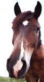 Cavallo del Brown isolato su priorità bassa bianca Fotografia Stock