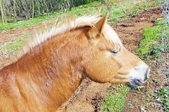 Cavallo del Brown sull'azienda agricola Fotografie Stock Libere da Diritti