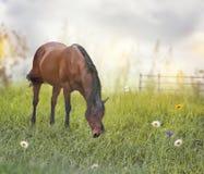 Cavallo del Brown in un campo Fotografie Stock