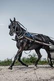 Cavallo del carrozzino di Amish Immagini Stock
