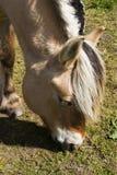 Cavallo del fiordo Immagini Stock Libere da Diritti