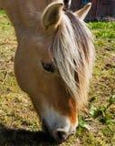 Cavallo del fiordo Immagine Stock Libera da Diritti