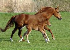 cavallo del foal Fotografia Stock