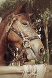 Cavallo del fronte Fotografie Stock