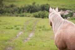 Cavallo del palomino Fotografie Stock Libere da Diritti