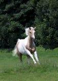 Cavallo del palomino Fotografie Stock