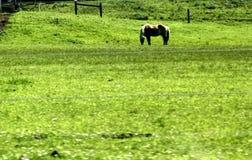 Cavallo del palomino che pasce un campo nella contea di Lancaster, Pensilvania immagine stock libera da diritti