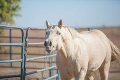 Cavallo del palomino di nitrito immagini stock libere da diritti