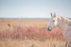 Cavallo del palomino nel campo Fotografia Stock Libera da Diritti