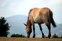 Cavallo del Przewalski Fotografie Stock Libere da Diritti